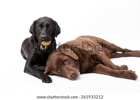 Studio portrait of a young black lab with ball and an old chocolate lab - stock photo