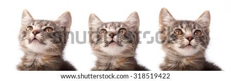 Studio portrait of adorable young grey kitten.  - stock photo