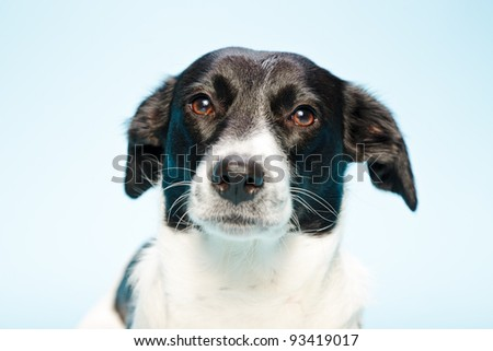 Studio portrait of black and white mixed breed dog isolated on light blue background - stock photo