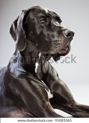 Studio portrait of black danish dog isolated on grey background - stock photo