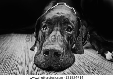 Studio portrait of black Great Dane Dog (danish dog) on black  background - stock photo