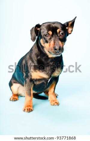 Studio portrait of black jack russell dog isolated on light blue background. - stock photo