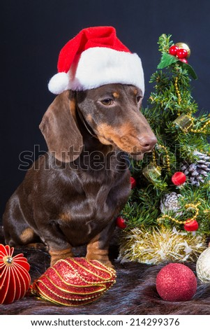 Studio portrait of chocolate dachshund with red santa cap near decorated Christmas tree on dark background - stock photo