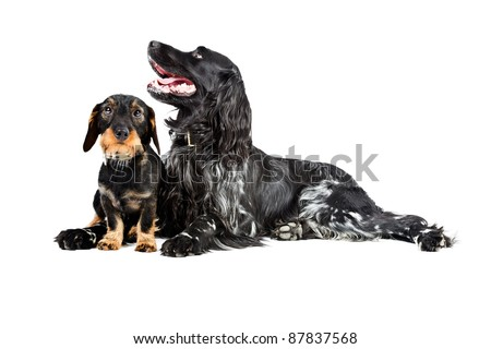 Studio portrait of dachshund and munsterlander together isolated on white background