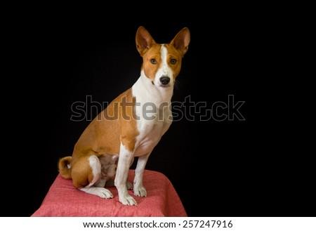 Studio portrait of elegant Basenji dog - stock photo