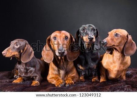 Studio portrait of four red, black and chocolate dachshund dogs on dark background - stock photo