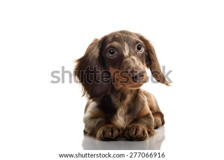 Studio portrait of little brown spotted dachshund isolated on white background