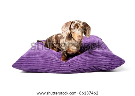 Studio portrait of little brown spotted dachshund lying on big purple pillow isolated on white background - stock photo