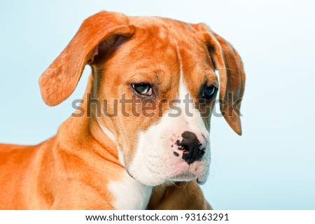 Studio portrait of mixed breed brown white puppy dog isolated on light blue background