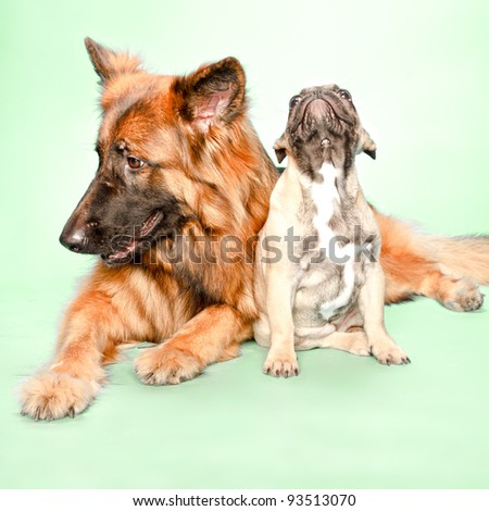Studio portrait of puppy bulldog and german shepard isolated on light green background - stock photo