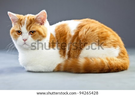 Studio portrait of red white british short hair kitten with orange eyes isolated on grey background - stock photo