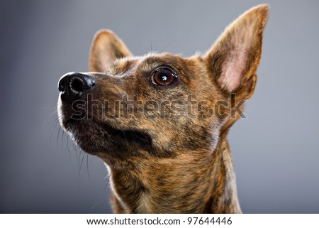 Studio portrait of small brown mixed breed dog isolated on grey background - stock photo