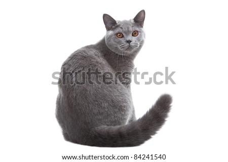 Studio portrait  of smiling beautiful young British blue cat sitting on isolated white background - stock photo