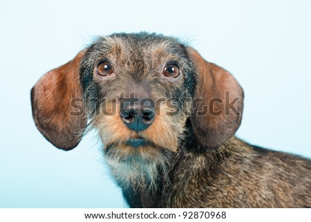 Studio portrait of young dachshund isolated on light blue background