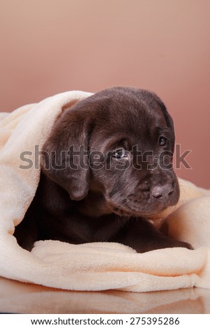 Studio portrait puppy brown labrador on a colored background
