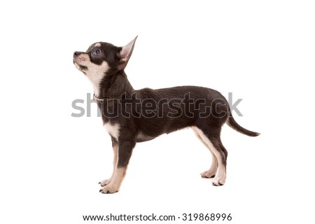 Studio shot of a Chihuahua puppy isolated over white background - stock photo