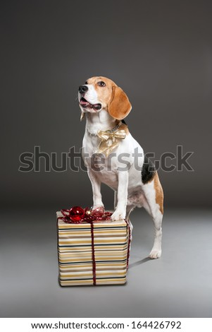 Studio shot of a cute christmas dog with ornaments. - stock photo