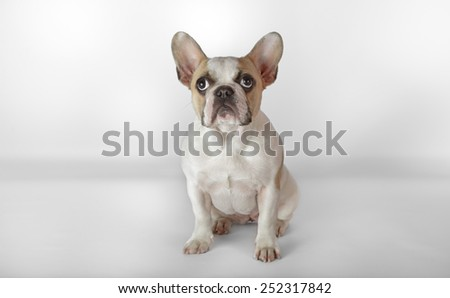 Studio shot of a female french bulldog puppy with a white background - stock photo