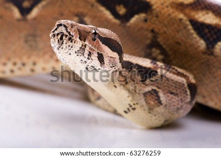 Studio shot of a juvenile boa constrictor, not isolated. - stock photo