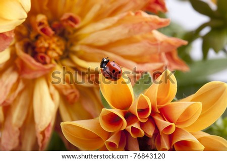 studio shot of a ladybug sitting on a flower petal - stock photo