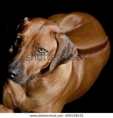 Download Rhodesian Ridgeback Brown Adorable Dog - stock-photo-studio-shot-of-an-adorable-rhodesian-ridgeback-standing-on-black-background-600528632  Photograph_943972  .jpg