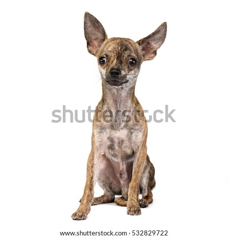 Short Hair Chihuahua Stock Images, Royalty-Free Images & Vectors ...