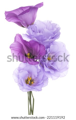 Studio Shot of Blue and Fuchsia Colored Eustoma Flowers Isolated on White Background. Large Depth of Field (DOF). Macro. - stock photo