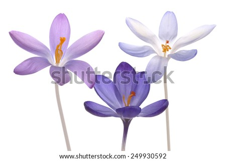 Studio Shot of  Blue and Lilac Colored Crocus Flowers Isolated on White Background. Large Depth of Field (DOF). Macro. - stock photo