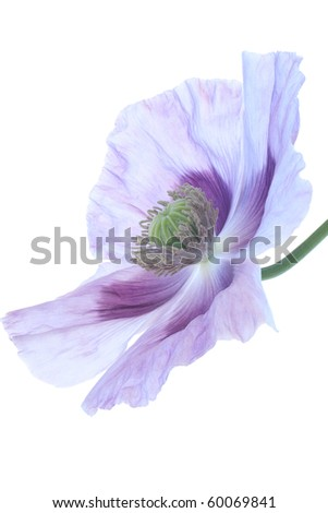 Studio Shot of Blue and Lilac Colored Opium Poppy Isolated on White Background. Large Depth of Field (DOF). Symbol of Sleep, Oblivion and Imagination. - stock photo
