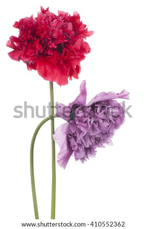 Studio Shot of Blue and Red Colored Poppy Flowers Isolated on White Background. Large Depth of Field (DOF). Macro. Symbol of Sleep, Oblivion and Imagination. - stock photo
