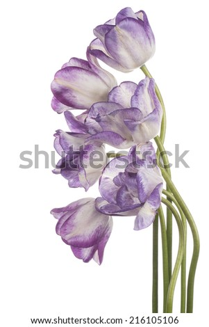 Studio Shot of Blue and White Colored Tulip Flowers Isolated on White Background. Large Depth of Field (DOF). Macro. National Flower of The Netherlands, Turkey and Hungary. - stock photo