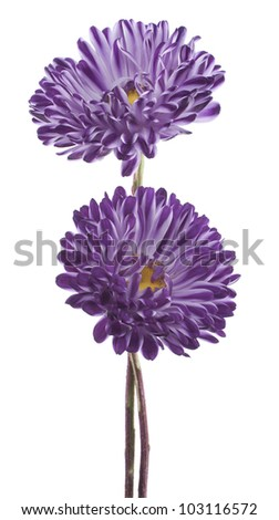 Studio Shot of Blue Colored China Aster Flowers Isolated on White Background. Large Depth of Field (DOF). Macro. Symbol of Jealousy. - stock photo
