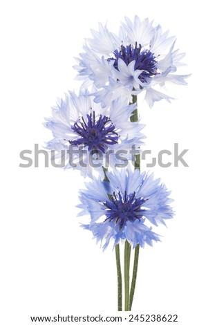 Studio Shot of Blue Colored Cornflowers Isolated on White Background. Large Depth of Field (DOF). Macro. National Flower of Belarus, Estonia and Germany. - stock photo