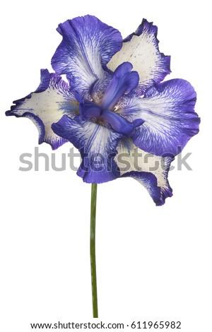 iris flower stock images, royaltyfree images  vectors  shutterstock, Beautiful flower
