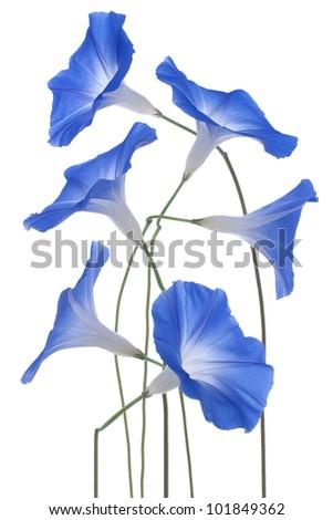 Studio Shot of Blue Colored Morning Glory Flowers Isolated on White Background. Large Depth of Field (DOF). Macro. - stock photo