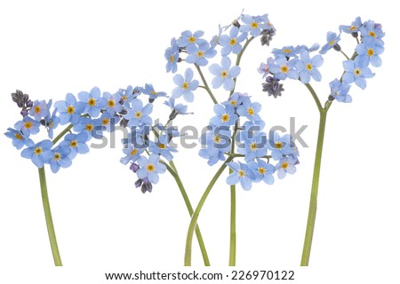 Studio Shot of Cyan Colored Forget-me-not Flowers Isolated on White Background. Large Depth of Field (DOF). Macro.Symbol of True Love. - stock photo