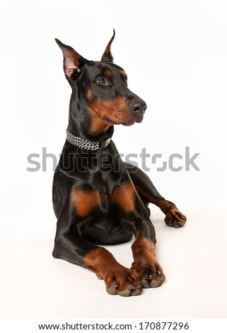 Studio shot of dobermann pinscher dog facing the camera. - stock photo