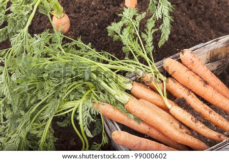 studio-shot of fresh picked carrots on a  field, in a wooden basket. - stock photo