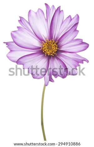 Studio Shot of Fuchsia and White Colored Cosmos Flower Isolated on White Background. Large Depth of Field (DOF). Macro.