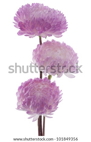 Studio Shot of Fuchsia Colored China Aster  Flowers Isolated on White Background. Large Depth of Field (DOF). Macro. Symbol of Jealousy. - stock photo