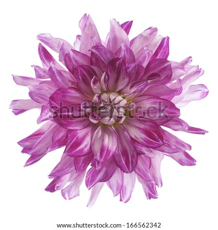 Studio Shot of Fuchsia Colored Dahlia Flower Isolated on White Background. Large Depth of Field (DOF). Macro. Symbol of Elegance, Dignity and Good Taste. - stock photo