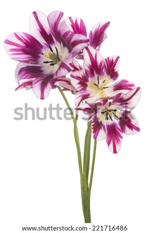 Studio Shot of Fuchsia Colored Tulip Flowers Isolated on White Background. Large Depth of Field (DOF). Macro. National Flower of The Netherlands, Turkey and Hungary. - stock photo