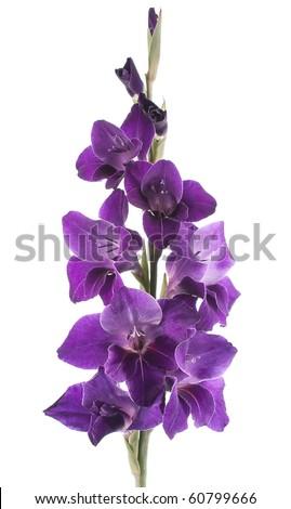 Studio Shot of Indigo and Violet Colored Gladiolus Isolated on White Background. Large Depth of Field (DOF). Macro. - stock photo