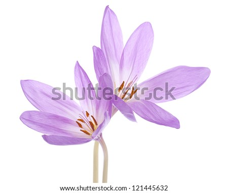 Studio Shot of Lilac Colored Colchicum Flowers Isolated on White Background. Large Depth of Field (DOF). Macro. - stock photo