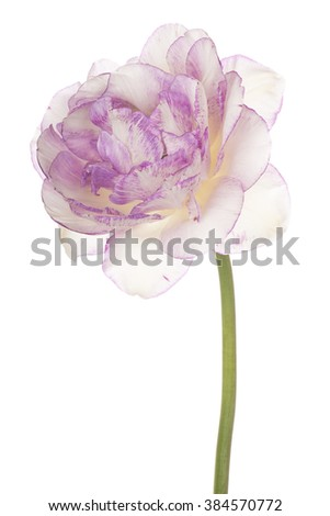 Studio Shot of Lilac Colored Tulip Flower Isolated on White Background. Large Depth of Field (DOF). Macro. - stock photo