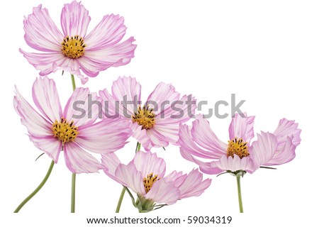 Studio Shot of Magenta and White Colored Cosmos Flowers Isolated on White Background. Large Depth of Field (DOF). - stock photo