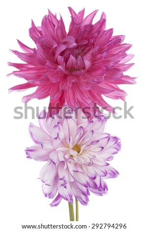 Studio Shot of Magenta Colored Dahlia Flowers Isolated on White Background. Large Depth of Field (DOF). Macro. Symbol of Elegance, Dignity and Good Taste. - stock photo