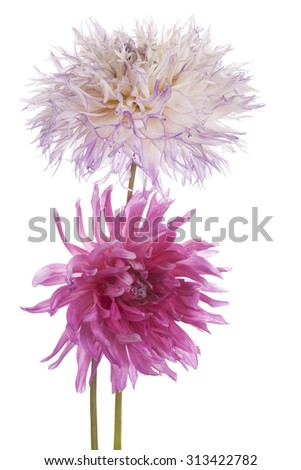 Studio Shot of Magenta Colored Dahlia Flowers Isolated on White Background. Large Depth of Field (DOF). Macro. Symbol of Elegance, Dignity and Good Taste. - stock photo