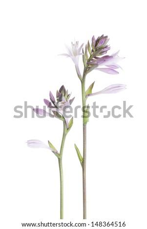studio shot of mauve hosta isolated on white background - stock photo