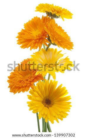 Studio Shot of Orange and Yellow Colored Calendula Flowers Isolated on White Background. Large Depth of Field (DOF). Macro. Sacred Flower of Ancient India. - stock photo